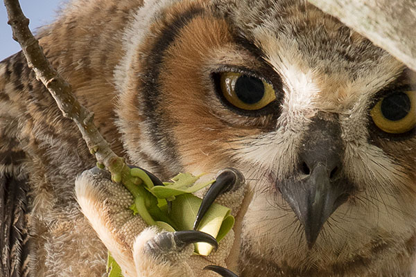 Closeup view of Great Horned Owl face