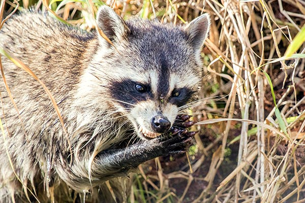 Closeup view of a raccoon using hands to eat